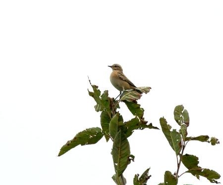 southward: Mirant small bird Whinchat near Beach Head at start of Autumn migration southward.