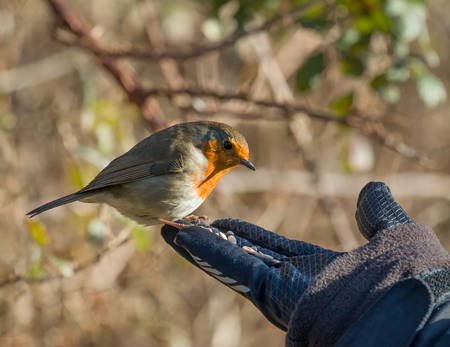 confiding: Eurasian Robin on hand, about to take seed.