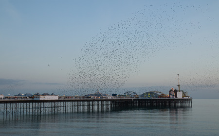 spectacle: Winter seasonal spectacle of Starling Murmuration over Brighton Pier at sunset. Stock Photo
