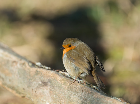 confiding: Adult Eurasian Robin in sunshine, looking coy.