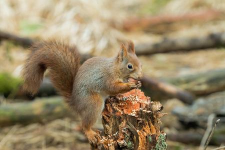 red squirrel: Red Squirrel with Hazel Nut in Norwegian woodland