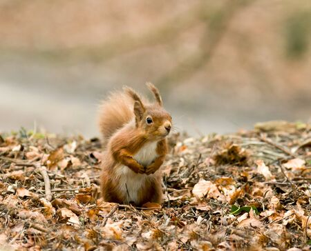 dorset: Cute and beseeching Red Squirrel on Brownsea Island, Dorset Stock Photo