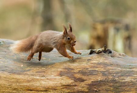 dorset: Red Squirrel with hazelnut,  leaping along fallen tree on Brownsea Island, Dorset.