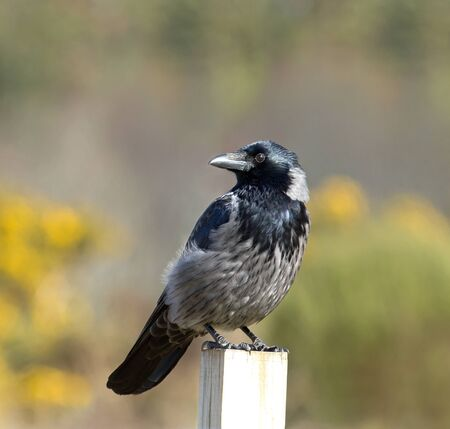 carrion: Hybrid Carrion and Hooded Crow seen at Culloden Battlefield in Scotland.