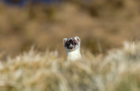stoat: Stoat peeping over crest of hill, still in partial white winter coat.