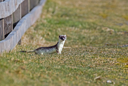 Stoat watching, still in partial white winter coat. Stock Photo