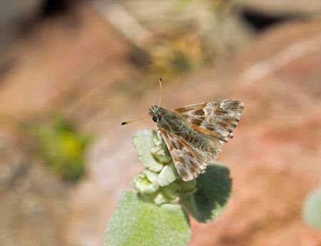 skipper: Oriental Marbled Skipper butterfly on Lesvos, Greece
