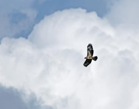 zopilote: Halcón común que se eleva contra el cielo nublado. Foto de archivo