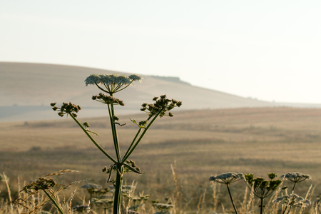 south downs: Umbelliferous wild flowers with Sussex South Downs in background early one summer morning.