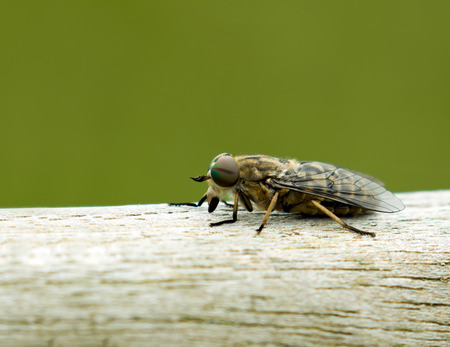 horse fly: Close-up of biting Band-eyed Brown Horse-fly, showing its rainbow-coloured eye and single stripe.