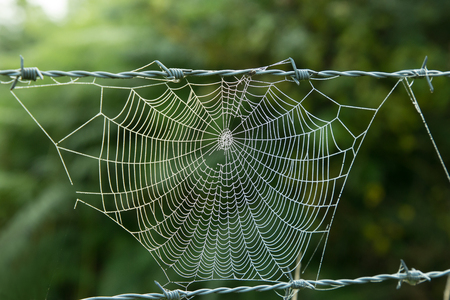 Spider cobweb suspended between rows of barbed wire, with early morning dew. Stock Photo