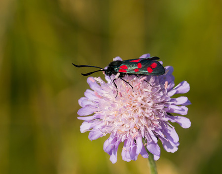 zygaena: Six-spot Burnet Moth on Field Scabious wild flower during July on South Downs, Sussex, England