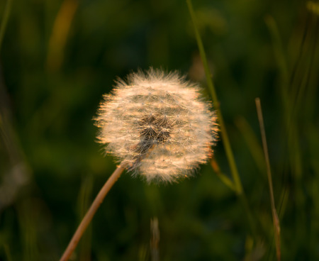 Dandelion seedhead or clock, backlit by evening sun. Stock Photo