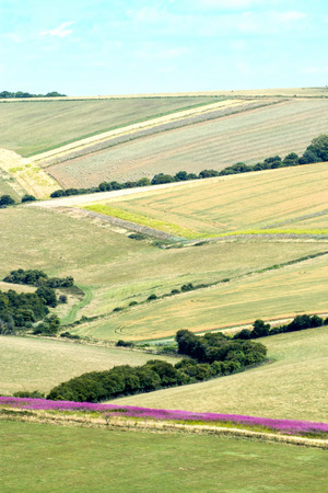 west sussex: Fields on the South Downs in West Sussex, with Rosebay Willowherb or Fireweed cutting a deep pink line across scene. Stock Photo