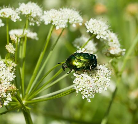 iridescent: Iridescent green Rose Chafer beetle