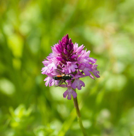 pyramidal: Deep pink Pyramidal Orchid on the chalky South Downs in West Sussex, with fly.