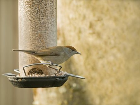 Female small bird warbler Blackcap on garden feeder, distinctive russet cap showing.