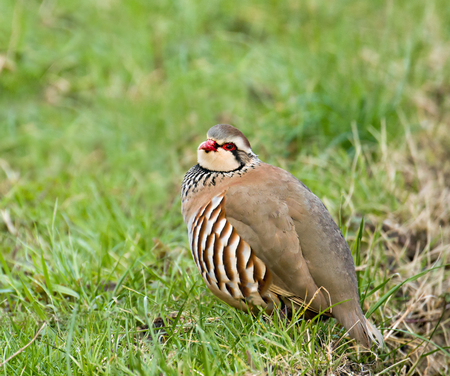 Red-legged Partridge showing distinctive plumage details, in West Sussex, England.