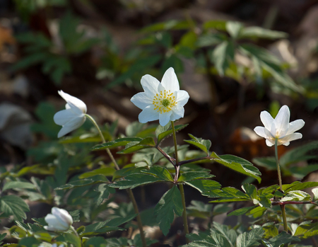 Wood Anenome flowers in English woodland