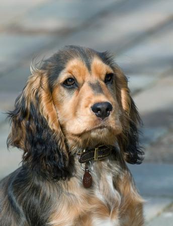 English Show Cocker Spaniel Puppy three-quarter profile.
