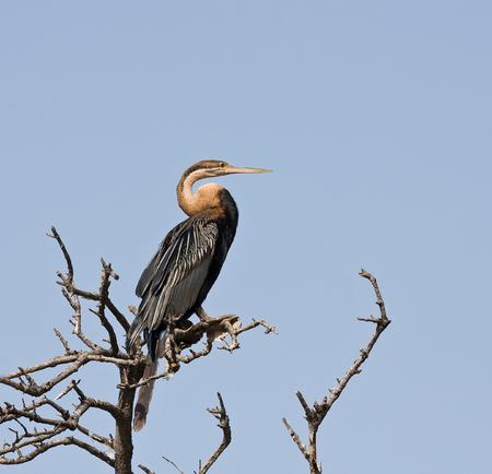 African Darter or Snakebird in The Gambia