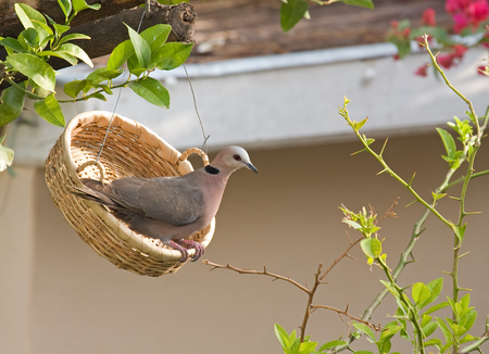 Wild Red-eyed Dove in feeding basket in Gambian garden Stock Photo