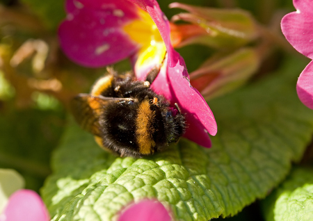 Bumblebee and Mite on Polyanthus Stock Photo