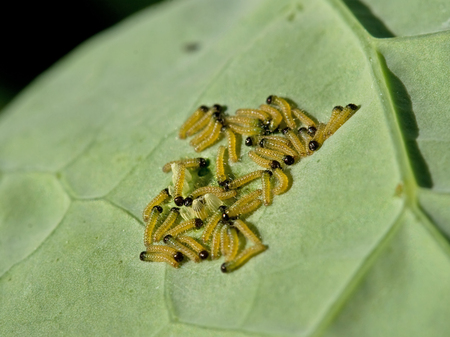 Caterpillars and eggs Stock Photo