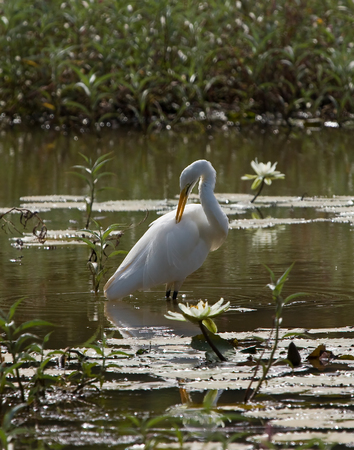 Great White Egret at the Lily Pond in Kotu, The Gambia
