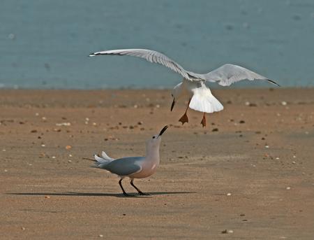 Slender-billed Gulls arguing