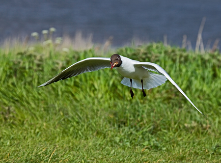 scavenging: Black-headed Gull in summer plumage, scavenging