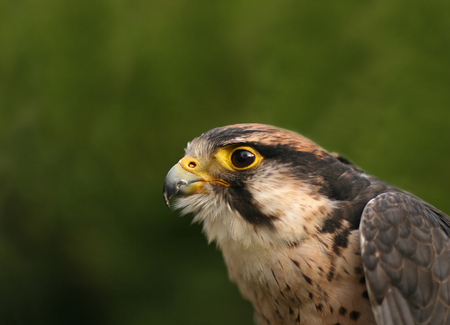 Lanner Falcon head close-up Stock Photo