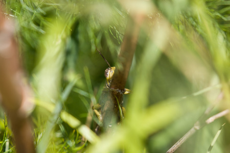 Egyptian Locust with one striped eye showing as it peeps from behind stalk. Stock Photo