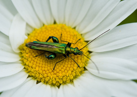 Oedemera nobilis beetle male on daisy.