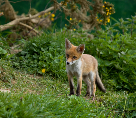 Red Fox cub in English countryside, looking at something out of shot
