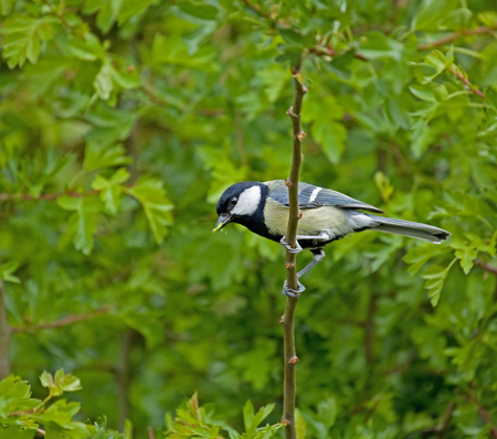 Small garden bird Great Tit adult and caterpillar food for young birds in nest