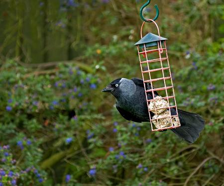 corvus: Eurasian Jackdaw on fatballs in garden