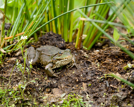 Large Marsh Frog on bank of pond Stock Photo