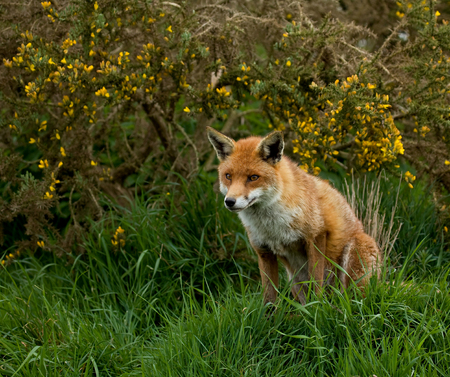 Adult Red Fox in countryside, sitting, looking at something out of shot