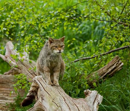 Scottish Wildcat sitting on log, watching something out of shot