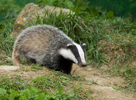Black, white and grey European Badger cub in English countryside