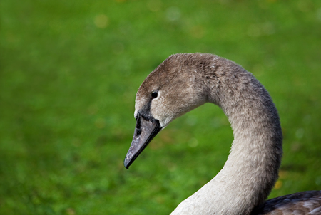Young Mute Swan Cygnet head shot against green background Stock Photo