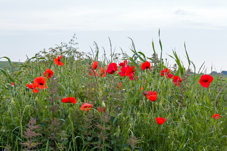 Poppies growing on the South Downs in East Sussex, England.