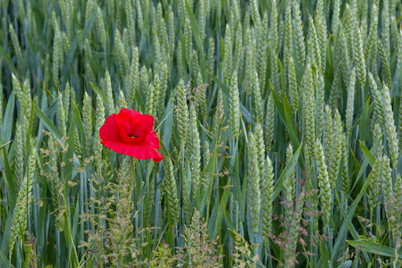 Lone poppy growing in wheat field in East Sussex, England. Shown on left of image. Stock Photo