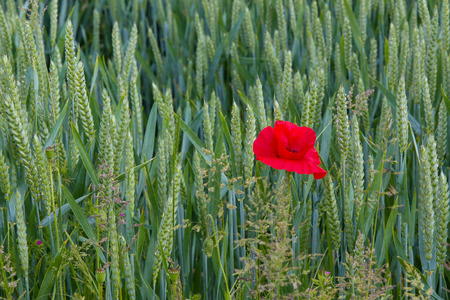 Lone poppy growing in wheat field in East Sussex, England. Shown on right of image. Stock Photo