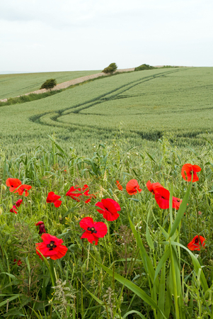 Poppies growing beside a wheat field in England