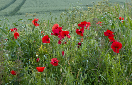 Poppies growing by crop field in southern England. Stock Photo