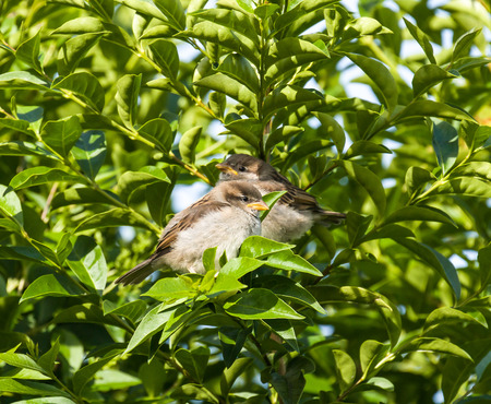 House Sparrow fledglings in Privet hedge