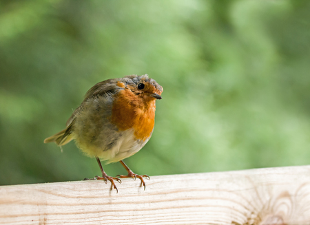 erithacus rubecula: European Robin on fence, head tilted to one side