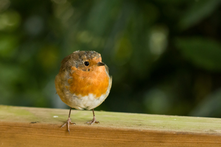 erithacus rubecula: European Robin on fence looking to its left Stock Photo